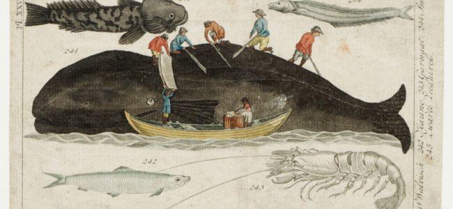 Afspekken van een walvis
